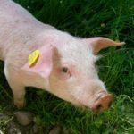 Nowe zasady znakowania świń