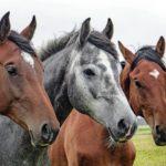 """Konferencja """"Konie w gospodarstwach rolnych…."""""""