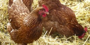 Zasady ochrony drobiu przed ptasią grypą