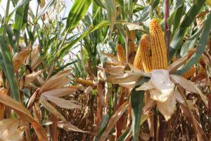 Dzień kukurydzy w Grubnie 05.09.2018