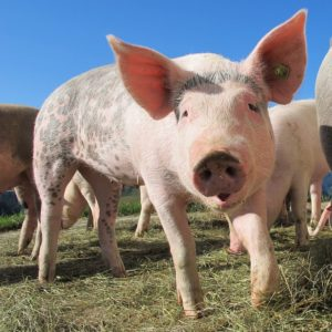Świadectwa zdrowia dla świń w obrocie krajowym
