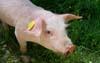 Informacja dla posiadaczy świń