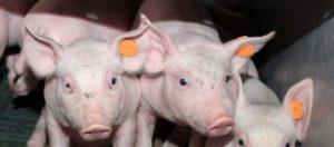 Znakowanie świń kolczykiem