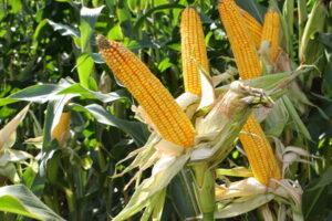 Opracowania dotyczące monitoringu organizmów szkodliwych kukurydzy