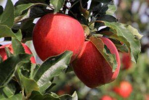 Konferencję online.   Nawadnianie upraw sadowniczych – zapis video i materiały konferencyjne